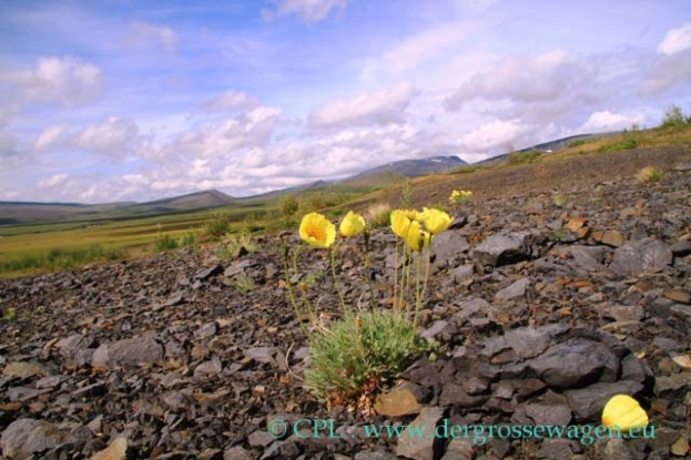 Arctic_Poppy_Dempster_Highway