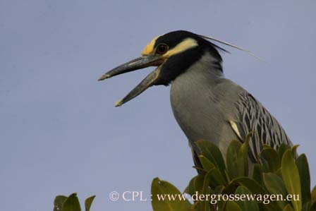 Yellow-crowned_Night-Heron